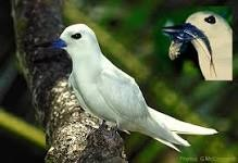 Gygis Alba, the White Tern of Addoo Atoll